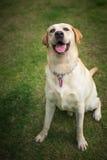 Labrador retriever smile in the garden. Labrador retriever smile so cute Stock Image
