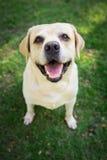 Labrador retriever smile in the garden. Labrador retriever smile so cute Stock Photos