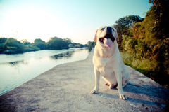 Labrador retriever smile in the lake. Labrador retriever smile and sunset background Stock Photography
