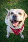 Labrador retriever smile in the morning and red scaft. Labrador retriever smile so cute Stock Image