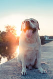 Labrador retriever smile and sunset. Background Royalty Free Stock Image