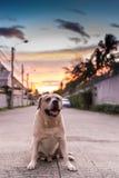 Labrador retriever smile and sunset sky. Labrador retriever smile and sunset background Royalty Free Stock Photos