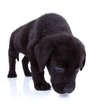 Labrador retriever sniffing Stock Images