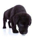 Labrador retriever sniffing stock images