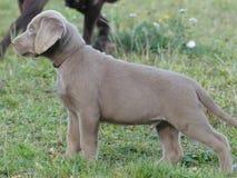 Labrador Retriever srebra szczeniak czujny obraz stock