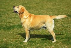 Labrador Retriever standing Stock Photo