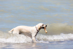 Labrador retriever standing in waves with stick in his mouth Stock Images