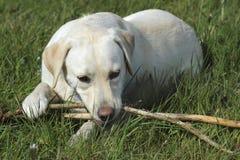 Labrador Retriever with stick. Golden labrador retriever with sticks in mouth lying on grass Stock Photos