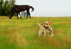 Labrador retriever with stick Stock Photography