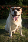 Labrador retriever with sunglasses in the garden. Labrador retriever smile and sunset background Royalty Free Stock Images
