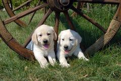 Labrador Retriever szczeniak Obraz Royalty Free