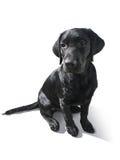 Labrador Retriever szczeniak odizolowywający na bielu Zdjęcia Royalty Free
