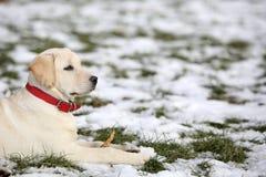 Labrador Retriever szczeniak Patrzeje prawicę W jardzie na zimie Fotografia Royalty Free