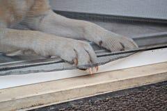 Labrador retriever-Tatze auf dem Türnetz Stockfotos