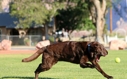 Labrador Retriever about to grab his ball Royalty Free Stock Images