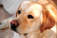 Labrador retriever in training dog day Royalty Free Stock Image