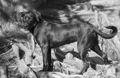 Labrador retriever trakenu pies przy czerwień pączka wyspą, Austin Texas obraz royalty free