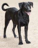 Labrador retriever trakenu pies przy czerwień pączka wyspą, Austin Texas Fotografia Stock