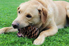 Labrador retriever und ein pinecone stockfotos