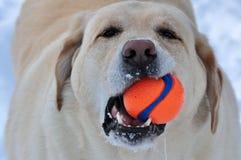 Labrador retriever und sein Lieblingsspielzeug Stockbild
