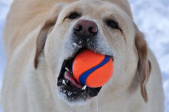 Labrador retriever und sein Lieblingsspielzeug Stockbilder