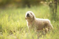 labrador retriever valp Fotografering för Bildbyråer