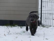 Labrador Retriever węgla drzewnego szczeniak w śniegu zdjęcie stock