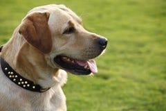 Labrador retriever wait for command Royalty Free Stock Photography