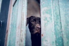 Labrador retriever waiting owner at the door.- Selective focus on eye dog. stock image