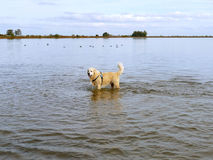 Labrador retriever in water Stock Images