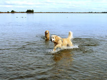 Labrador retriever in water Royalty Free Stock Image