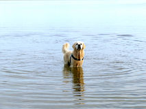 Labrador retriever in water Stock Photo