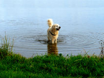 Labrador retriever in water Royalty Free Stock Photos