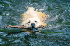 Labrador Retriever in the water Stock Image