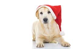 Labrador retriever wearing santa claus hat for christmas Royalty Free Stock Photo