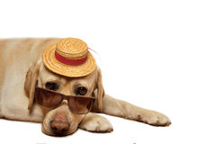 Labrador Retriever wearing sunglasses and hat Royalty Free Stock Photography