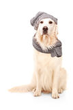Labrador retriever wearing woolen hat Royalty Free Stock Photos