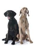 Labrador retriever and weimaraner Stock Images