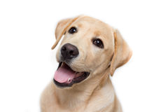Labrador retriever-Welpe Lizenzfreie Stockbilder