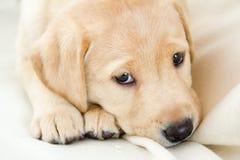 Labrador retriever-Welpe Stockbild