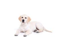 Labrador retriever-Welpe Stockbilder