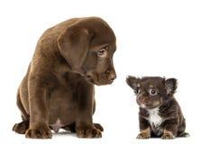 Labrador retriever-Welpe, der Chihuahua sitzt und betrachtet Stockbild