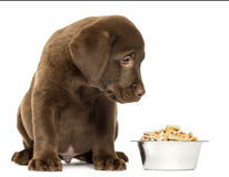 Labrador retriever-Welpe, der mit seiner vollen Hundeschüssel sitzt Stockbilder