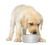 Labrador retriever-Welpe, der seiner leeren Hundeschüssel zurücktritt und betrachtet Stockfotos