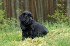 Labrador retriever-Welpe im Garten Stockbild
