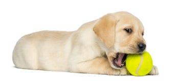 Labrador retriever-Welpe, 2 Monate alte, liegend und kauen einen Tennisball stockbild