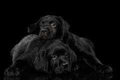 Labrador retriever-Welpen auf schwarzem Hintergrund Lizenzfreies Stockbild