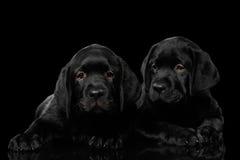 Labrador retriever-Welpen lokalisiert auf schwarzem Hintergrund Stockfoto