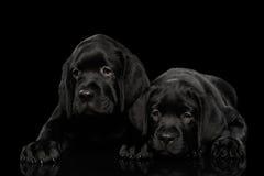 Labrador retriever-Welpen lokalisiert auf schwarzem Hintergrund Stockbild