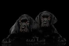 Labrador retriever-Welpen lokalisiert auf schwarzem Hintergrund Lizenzfreies Stockfoto